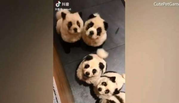 China's Panda Cafe Turns Out To Be Full Of Dyed Dogs