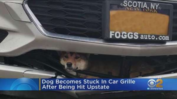 Dog Hit By Car Survives 45-minute Drive Trapped Inside Bumper