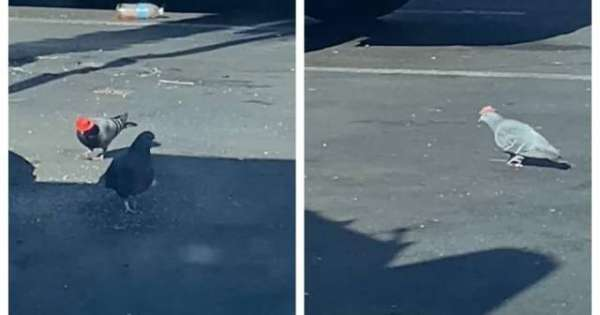 Pigeons Spotted Wearing Tiny Cowboy Hats In Las Vegas
